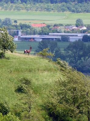 Hirsch-Schau nach Hirschau