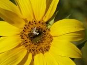Sonnenblumenbesucherin