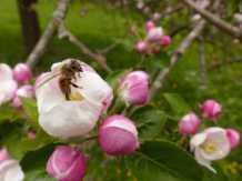 Kinzigtaler Kirschblüte