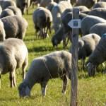 Premium-Schafe