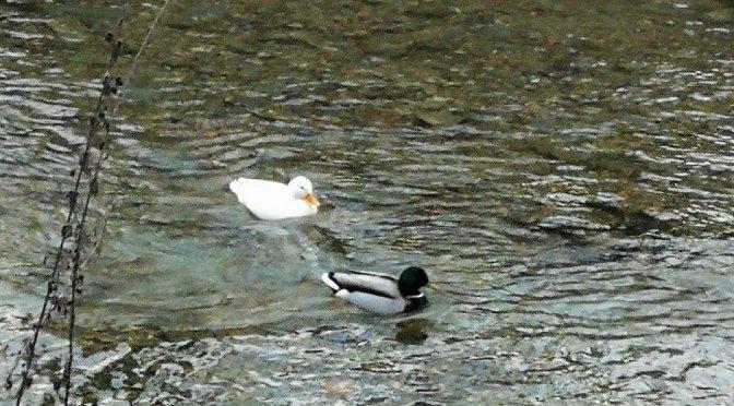 Willkommen im Jahr der weißen Ente